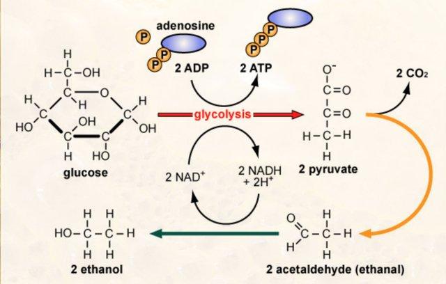 Glycolysis 2