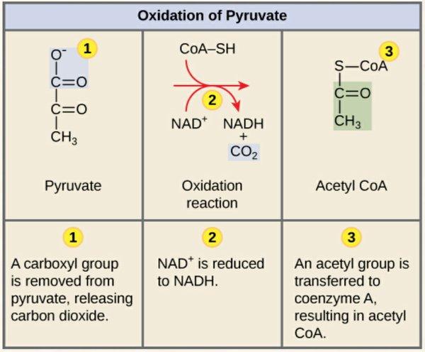 Oxidation of Pyruvate