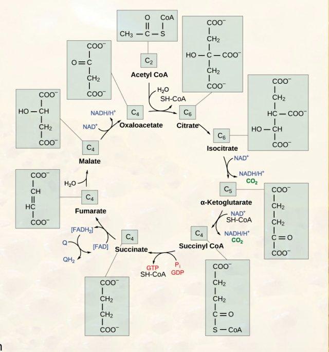 Citric Acid and Krebs Cycle