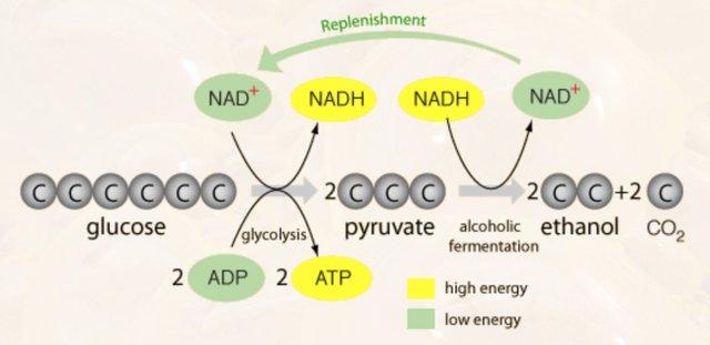 Alcoholic Fermentation Pathway