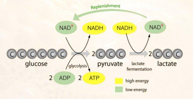 Lactic Acid Fermentation Pathway