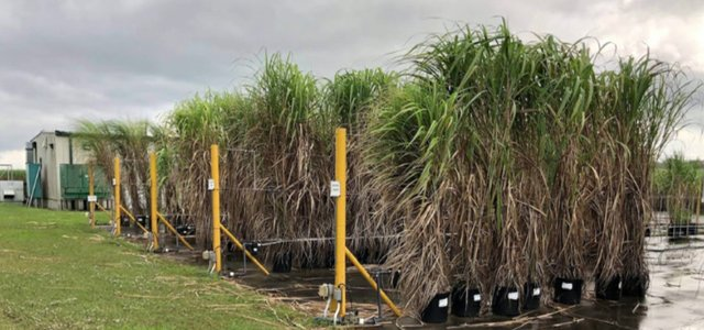 Sugarcane in Louisiana