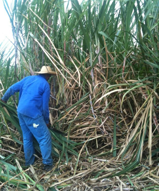 Man in Sugarcane Field.jpg