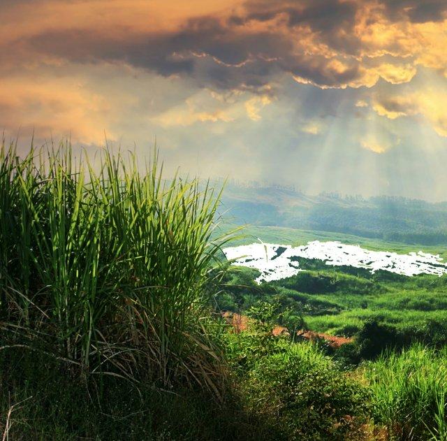 Sugarcane field2